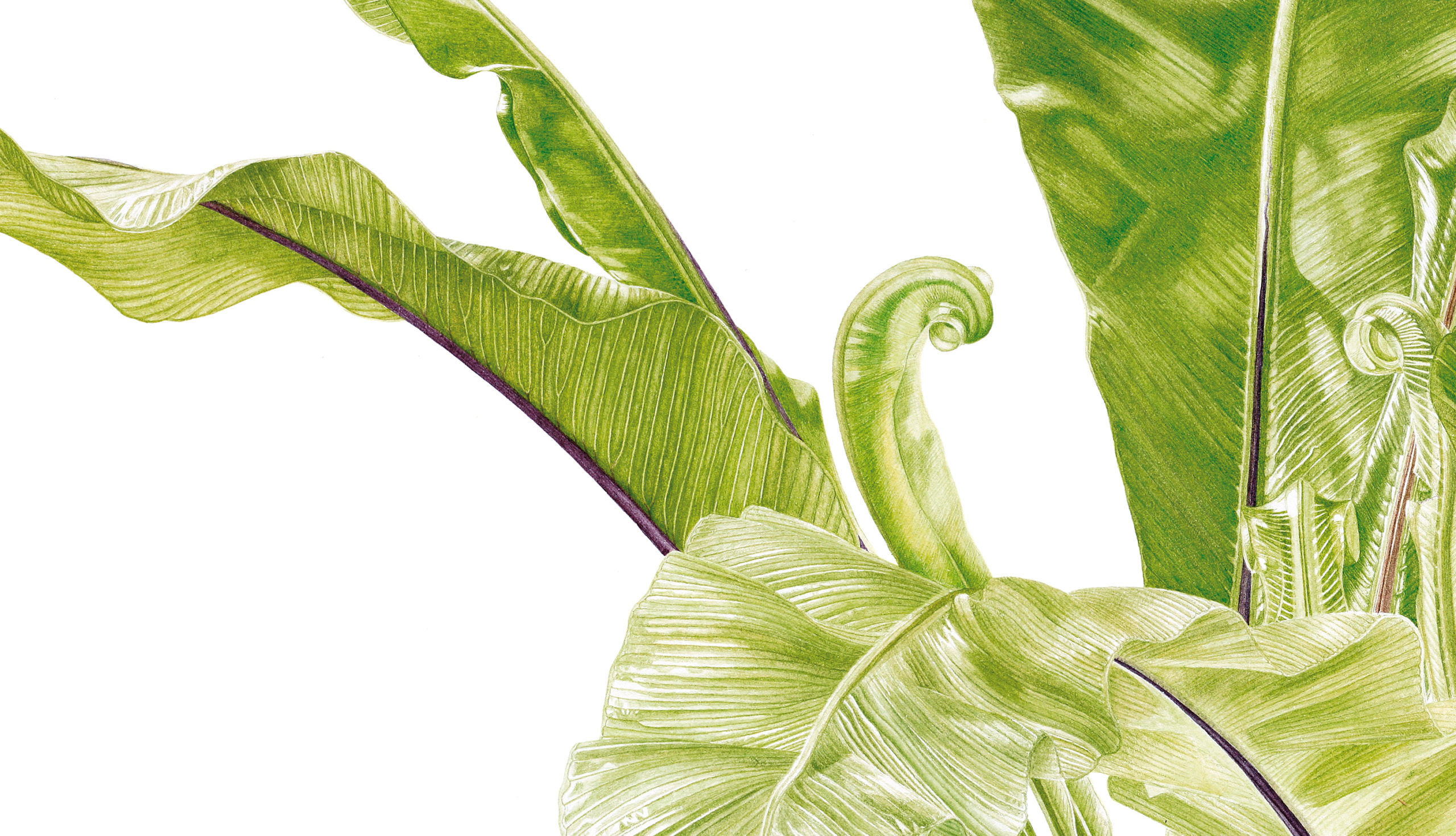 Ferns Asplenium nidus watercolour on Fabriano 5