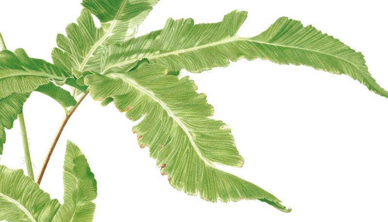 Ferns Dryopteris seboldii watercolour on Fabriano 5