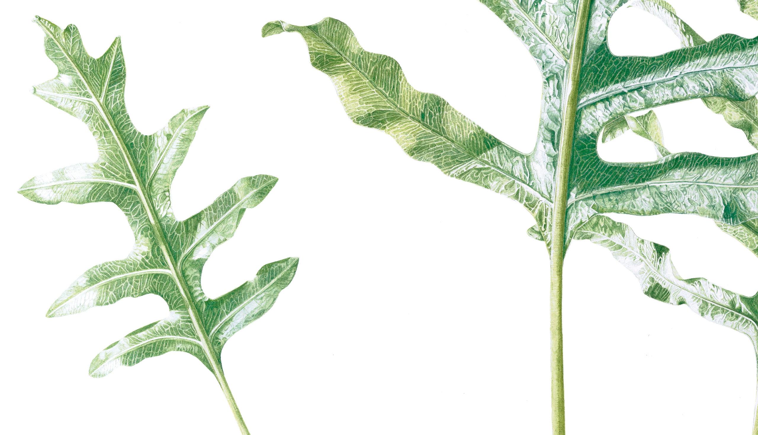 Ferns Phlebodium aureum watercolour on Fabriano 5
