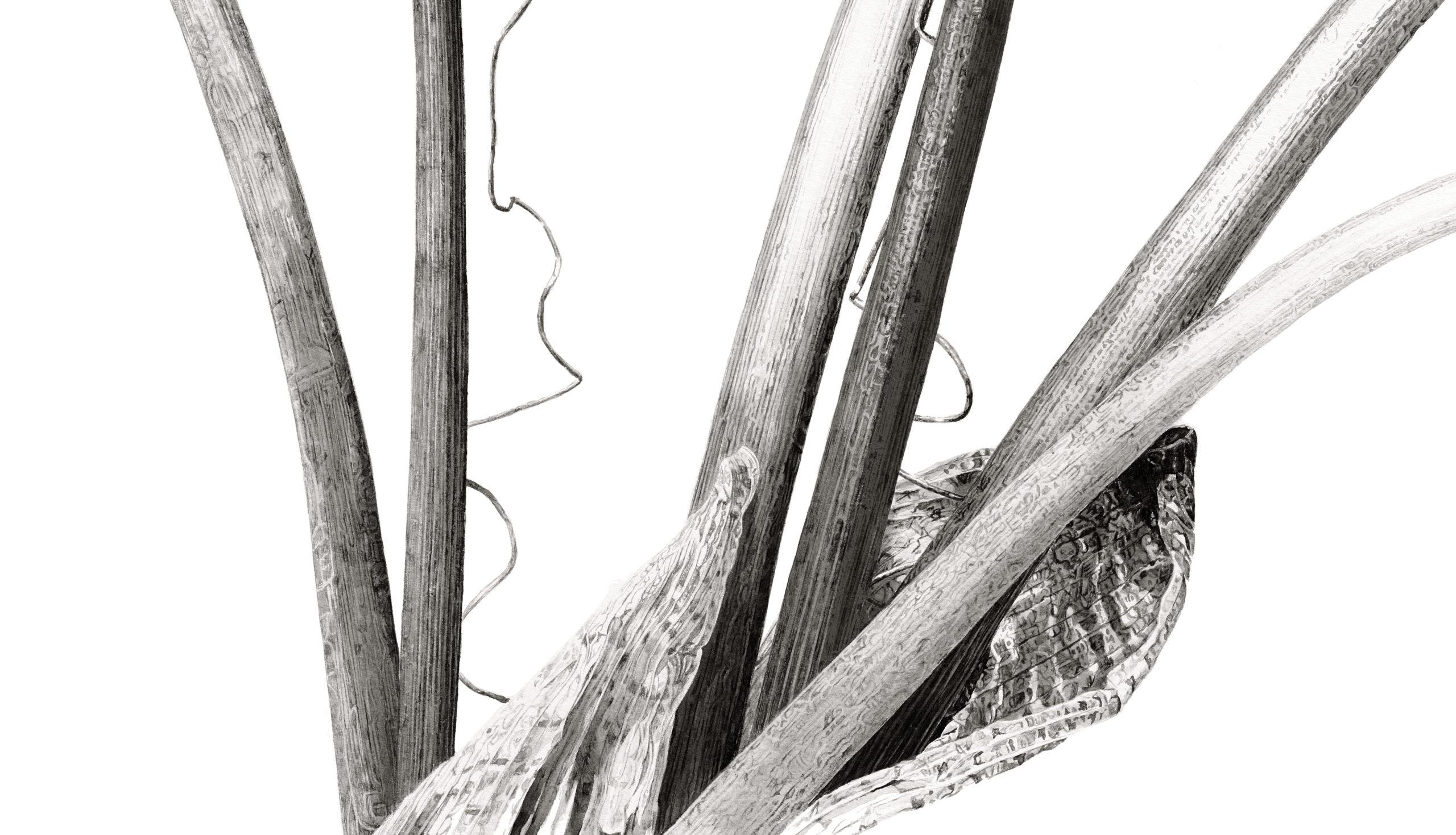 Arisaema griffithii var pradhanii ink shoots Japanese ink paste on Lambeth cartridge - detail